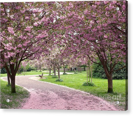 Cherry Blossom In Spring Acrylic Print