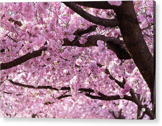 Cherry Blossom Trees Acrylic Print