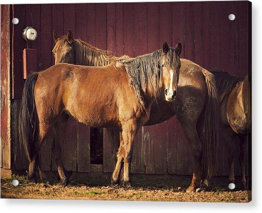 Chestnut Horses Acrylic Print