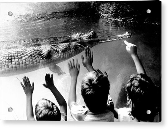 Children Reach Towards The Gharial Acrylic Print by New York Daily News Archive