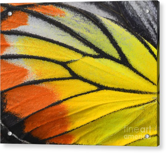 Close Up Of Painted Jezebel Butterflys Acrylic Print by Super Prin