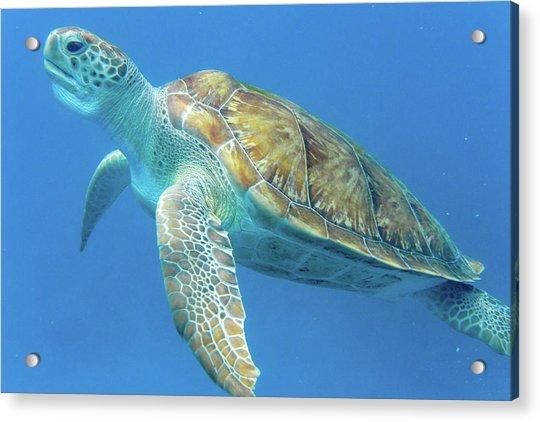 Close Up Sea Turtle Acrylic Print