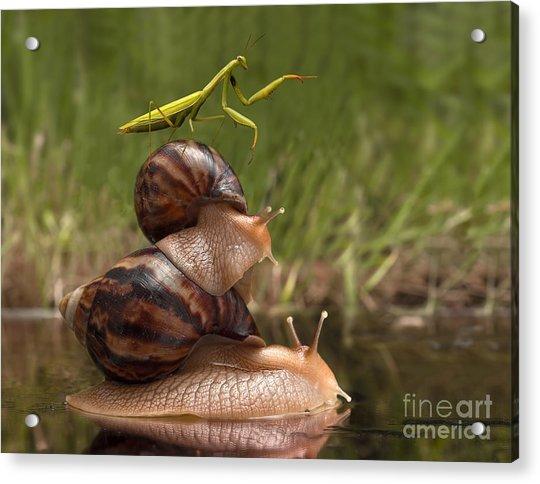 Closeup Praying Mantis Riding On Snails Acrylic Print