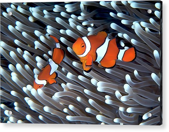 Clownfish Acrylic Print by Copyright Melissa Fiene