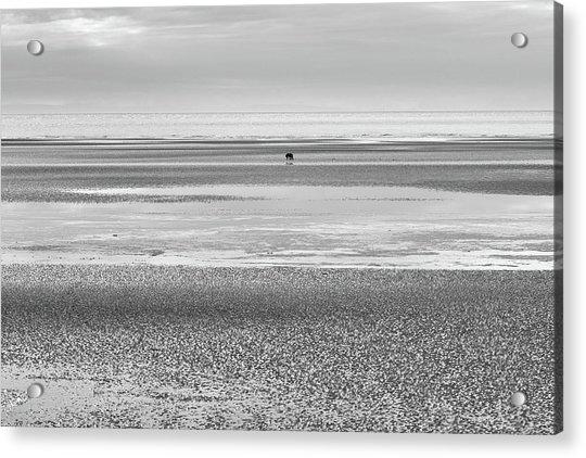Coastal Brown Bear On  A Beach In Monochrome Acrylic Print