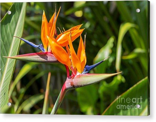 Colorful Of  Bird Of Paradise Flower Acrylic Print