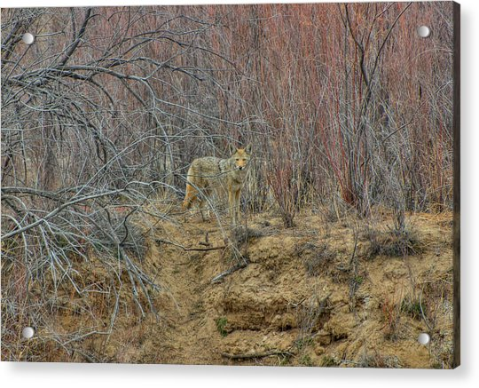 Coyote In The Brush Acrylic Print