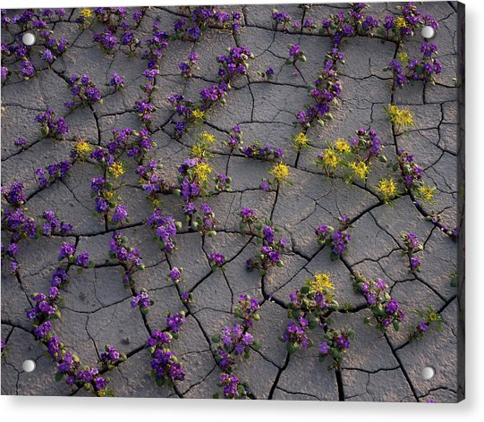 Cracked Blossoms II Acrylic Print