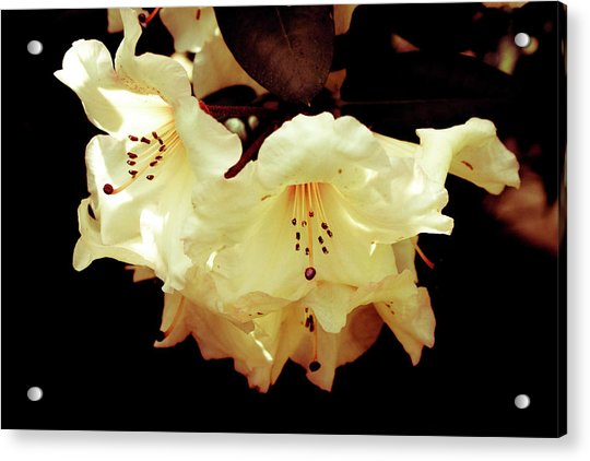Creamy Rhododendron Acrylic Print