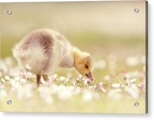 Cute Overload Series - Grazing Gosling Acrylic Print