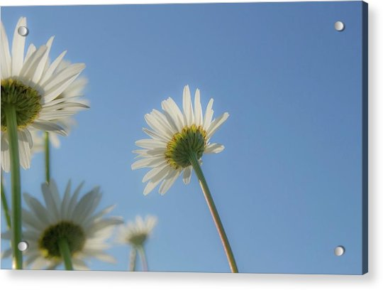 Distracted Daisies Acrylic Print