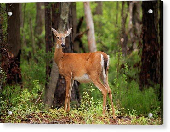 Doe, A Deer, A Female Deer Acrylic Print