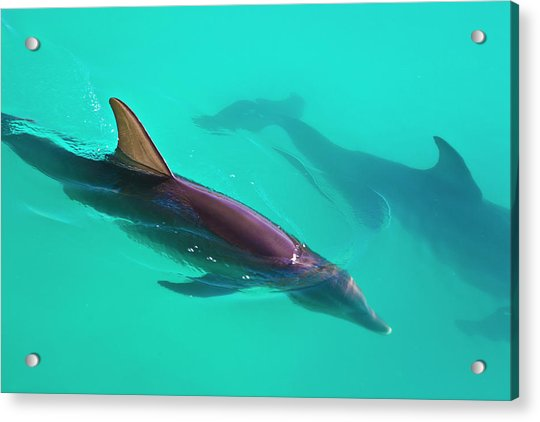 Dolphins Gliding Through The Caribbean Acrylic Print