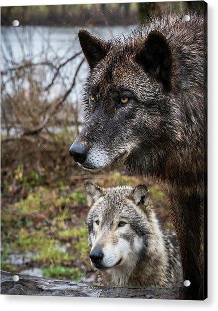 Dual Wolves Acrylic Print