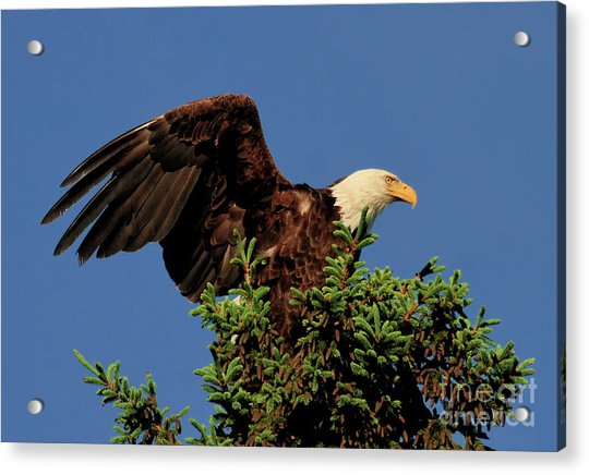 Eagle In Treetop Acrylic Print