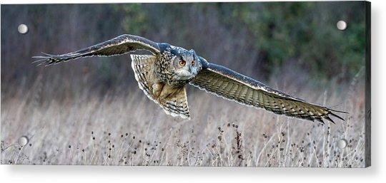 Eagle Owl Gliding Acrylic Print