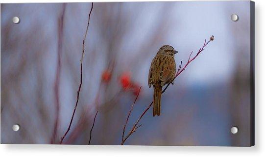 Early Spring Sparrow Acrylic Print