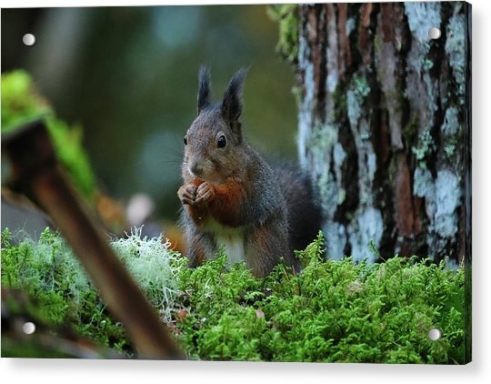 Eating Squirrel Acrylic Print