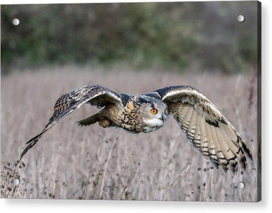 Eurasian Eagle Owl In Flight Acrylic Print