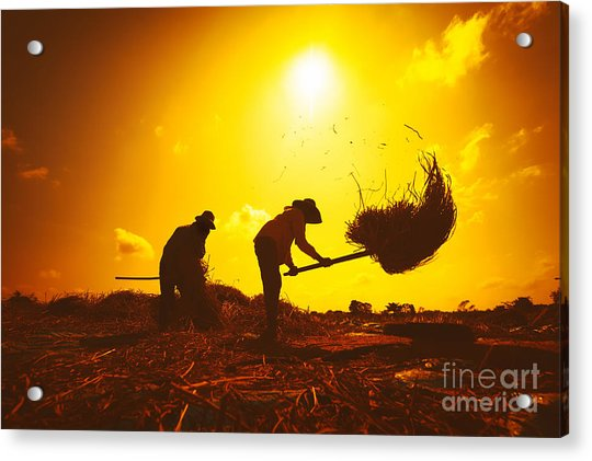 Farmers Silhouettes At Sunset. Rice Acrylic Print
