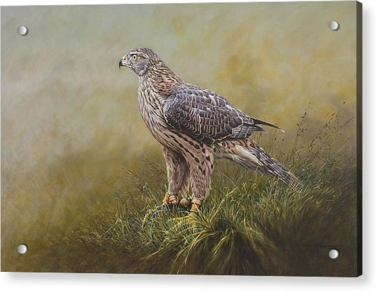 Acrylic Print featuring the painting Female Goshawk Paintings by Alan M Hunt