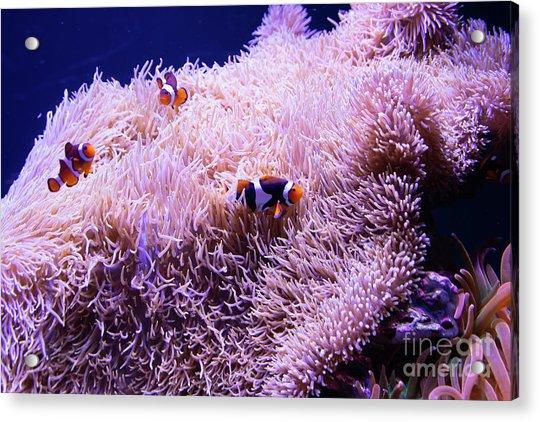 Finding Nemo The Clownfish R1348 Acrylic Print
