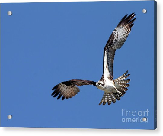 Focused Osprey Acrylic Print