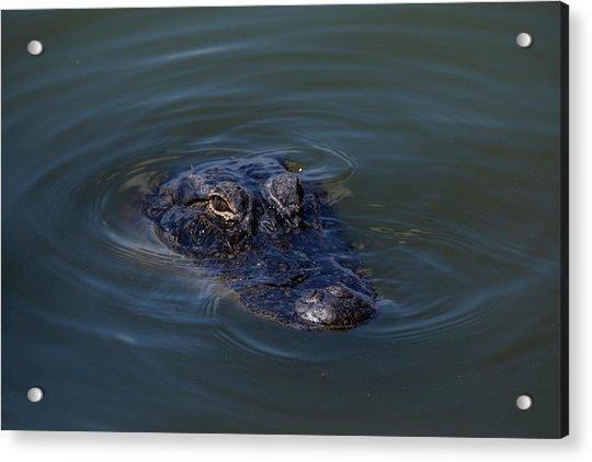 Gator Stare Acrylic Print