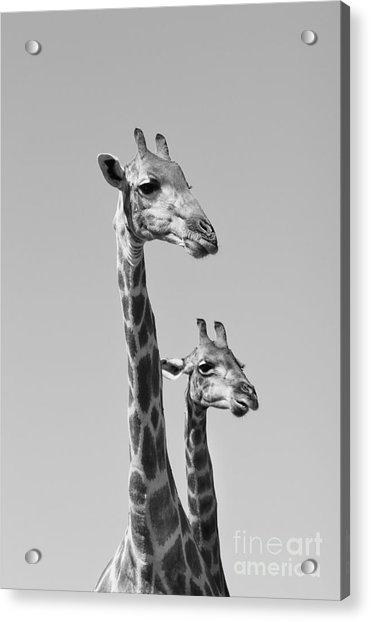 Giraffe - African Wildlife Background - Acrylic Print by Stacey Ann Alberts