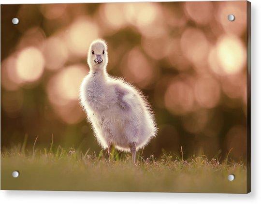 Glosling - The Glowing Gosling Acrylic Print
