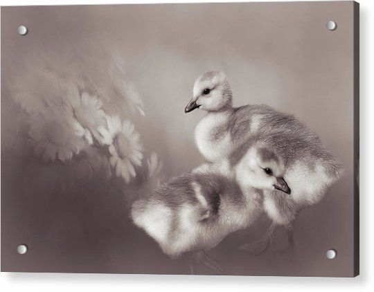Goslings And Daisies - Sepia Acrylic Print