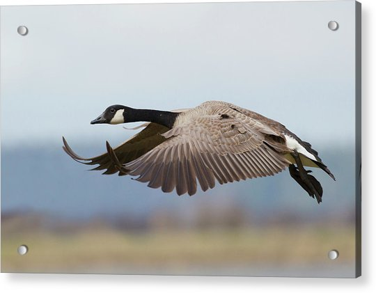 Greater Canada Goose Alighting Acrylic Print by Ken Archer