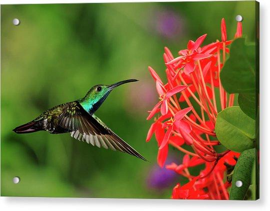 Green-breasted Mango Hummingbird, Costa Acrylic Print by Adam Jones