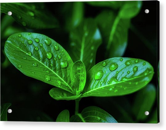 Green Leaf With Water Acrylic Print