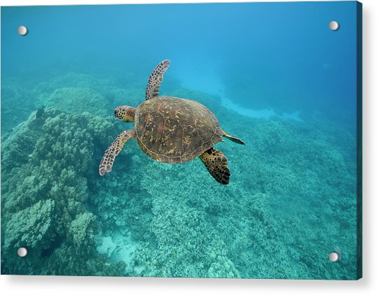Green Sea Turtle, Big Island, Hawaii Acrylic Print by Paul Souders