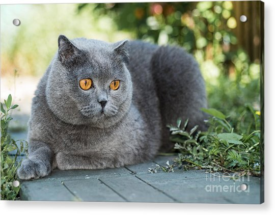 Grey British Cat Lying In The Green Acrylic Print by Anton Papulov