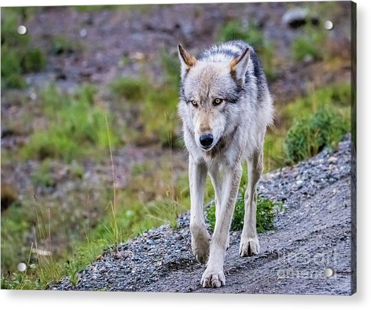 Grey Wolf In Denali National Park, Alaska Acrylic Print