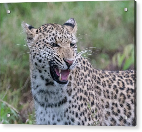 Grimacing Leopard Acrylic Print