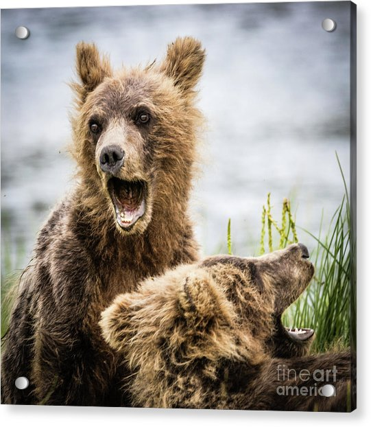 Grizzly Cubs Looking For Their Mum Acrylic Print