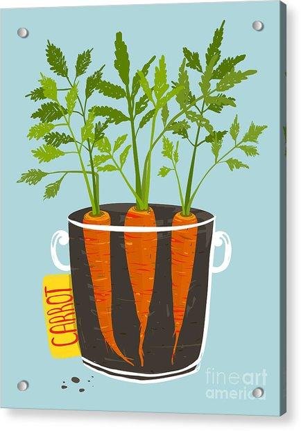 Growing Carrots With Green Leafy Top In Acrylic Print