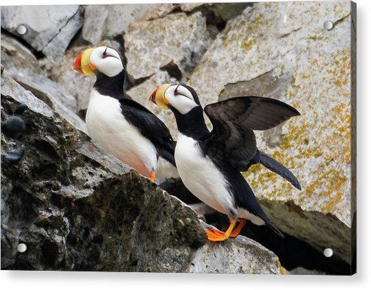 Horned Puffin Pair Acrylic Print