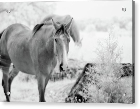 Horse In Infrared Acrylic Print