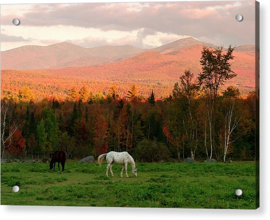 Horses Grazing During The New England Acrylic Print
