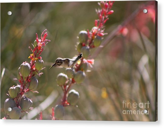Hummingbird Flying To Red Yucca 1 In 3 Acrylic Print