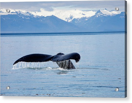 Humpback Whale Glides Through Calm Water Acrylic Print