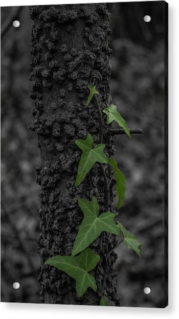 Industrious Ivy Acrylic Print