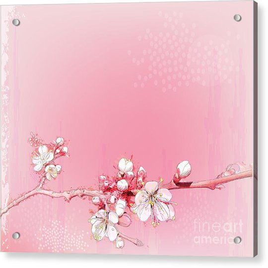 Japanese Cherry Blossoms In Full Bloom Acrylic Print