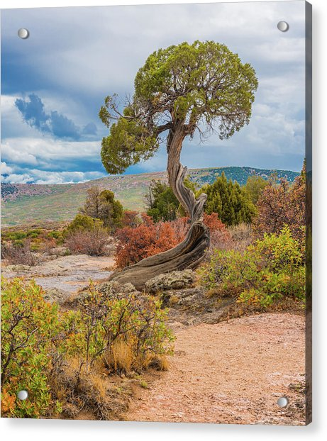 Juniper At Dragon Point Acrylic Print