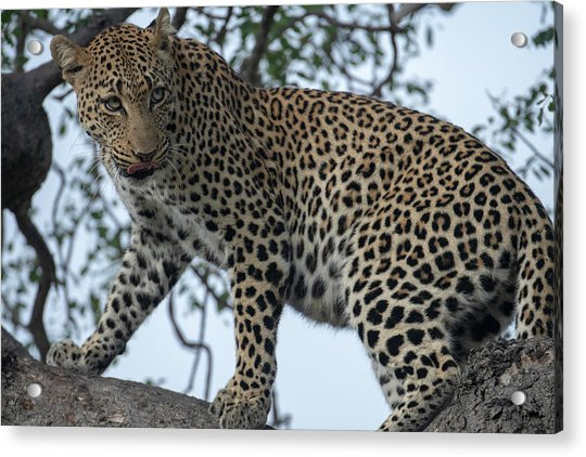 Leopard Anticipation Acrylic Print
