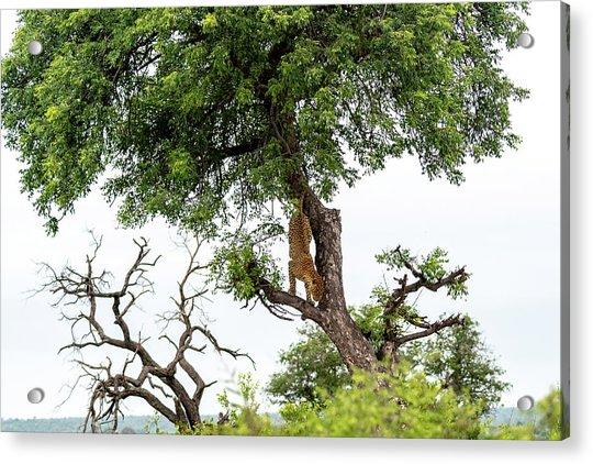 Leopard Descending A Tree Acrylic Print